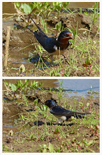 Photo: 撮影者:浜野建男 ツバメ タイトル: 観察年月日:2014/5/4 羽数:6羽+ 場所:片倉城跡公園 区分:繁殖 メッシュ:八王子7G コメント:定期カウントで、最近できた人工湿地にツバメが繰り返し飛んできて、土を咥えて運んでいた。