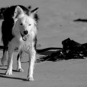 by Ailsa Burns - Animals - Dogs Running ( border collie, dogs, pets, dogs playing, bordercollie )