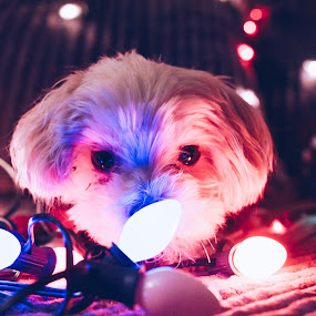 Sniff by Sam Reed - Animals - Dogs Portraits ( doggo, pupper, dogs, christmas lights, puppies, lights, maltipoo )
