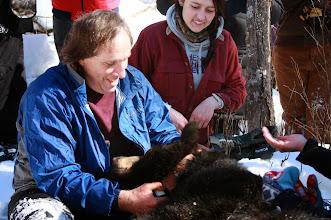 Photo: Tim Ginnett, UWSP professor of wildlife, places a radio collar on a black bear