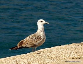 Photo: Immature gull (Common Gull?), near Vendicari Wetlands