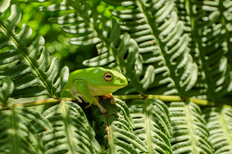 Moltrecht's tree frog by Hello Mumu - Animals Other