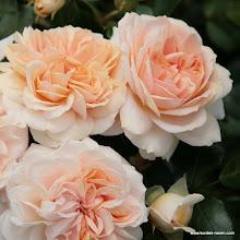 Photo: Beetrose Garden of Roses®, Züchter: W. Kordes' Söhne 2006