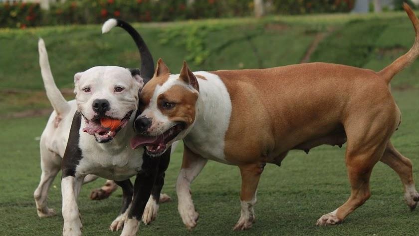 Dos perros de las consideradas como razas PPP.