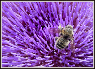 Photo: Bee on artichoke flower
