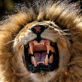 If you don't like the hair, what about the teeth? by Buddy Eleazer - Animals Other Mammals ( lion )
