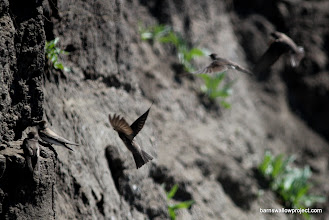 Photo: Bank Swallows/ Sand martins (Riparia riparia)