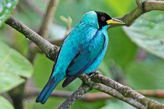Photo: Green Honeycreeper (male)