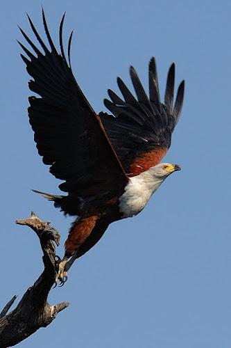 Take off by Bostjan Pulko - Animals Birds ( eagle, zambia, africa )