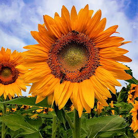 Sunflowers and bees by Susan Campbell - Flowers Flower Gardens