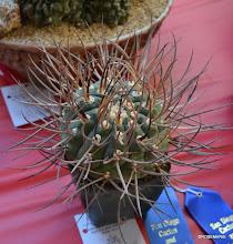 Photo: Gymnocalycium armatum, 1st place, Jürgen's