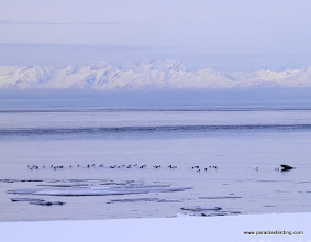 Photo: Common Goldeneyes at the mouth of the Kasilof River, Alaska Peninsula in the distance
