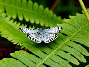 Photo: ORCUS CHECKERED SKIPPER--pyrgus orcus--APUYA TRACK