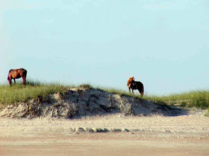 Photo: Feral horses on barrier island - Photo by Jimmy Piver
