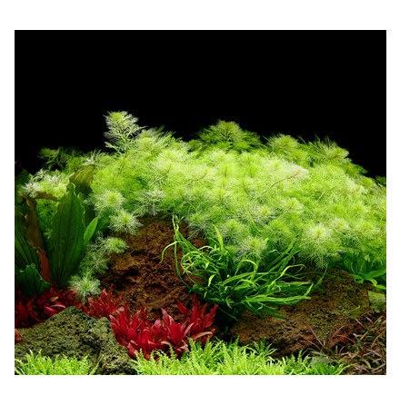 Limited Edition Myriophyllum mattogrossense 1-2 Grow