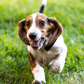 Baby Basset Hound by Marc Crowther - Animals - Dogs Running ( pet, dog, pwc84, mutt )