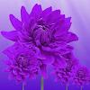 Purple Color wallpaper APK