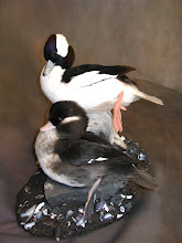 Photo: Bufflehead pair on cast rock/habitat