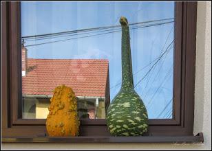Photo: Dovleac (Cucurbita maxima)  - din Turda, Str. Augustin Bunea , in fereastra unei case - 2019.09.28