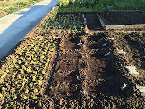 Photo: Marul, kıvırcık, soğan, sarımsak ve tohumlar ekildi.