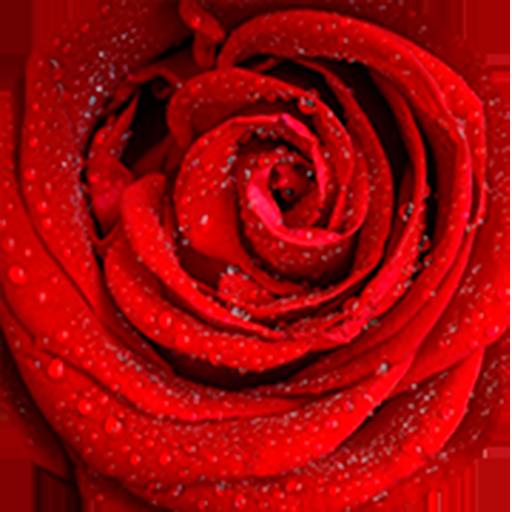 Saludándote con Rosas