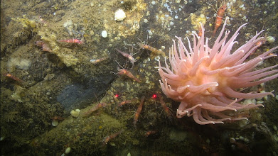 Photo: Upon closer inspection by the ROV, small shrimp were observed searching for food and shelter amongst the animals attached to rock surface, like this anemone (Image courtesy of Gulf of Maine Deep Sea Coral Science Team 2014/NURTEC-UConn/NOAA Fisheries/UMaine)