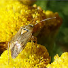 European Tarnished Plant Bug