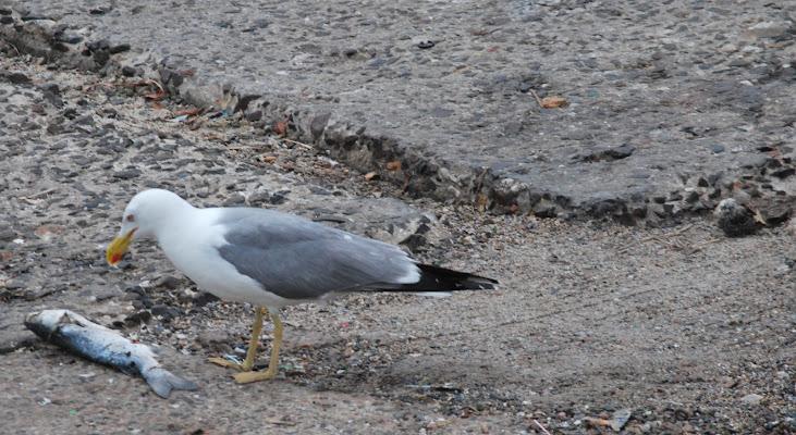 Gull and its prey a mullet di LucioAtzeni