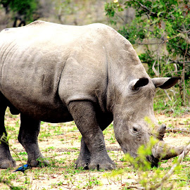 Rhino by Jodi Siecker - Animals Other ( nature )