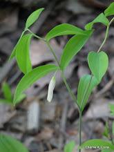 Photo: Wild oats (Uvularia sessilifolia)