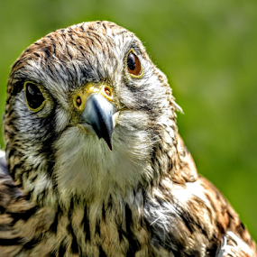 Beady eyes  by Ian Popple - Animals Birds ( predator, bird of prey, good eyes, very fast, falcon,  )