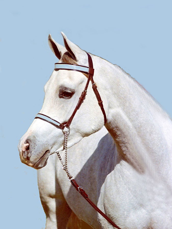 Marlina by Nancy Tubb - Animals Horses ( equine, horse, beautiful white horse, white horse, arabian mare )