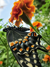 Photo: Butterfly on an orange flower at the Cox Arboretum Butterfly House in Dayton, Ohio.