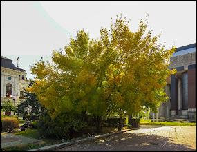 Photo: Arțar, Paltin de câmp (Acer platanoides) - din Turda, Piata 1 Decembrie 1918, parc - 2019.09.30