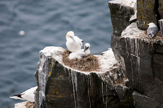 Photo: Northern Gannet and downy chick