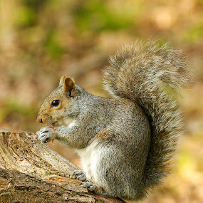 Dressed For Dinner by Russell Mander - Animals Other Mammals ( pest, eats nuts, climbs tree's, cute, grey )