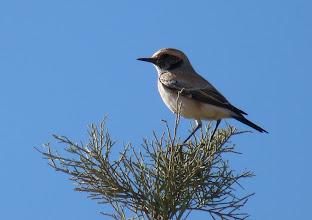 Photo: Monachella del deserto - Oenanthe deserti - Desert Wheatear