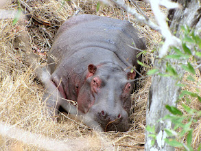 Photo: Mkhaya GR - hippo