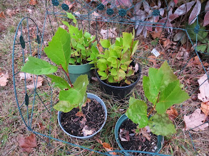 """Photo: More saplings in a """"fenced"""" garden on the front lawn..."""