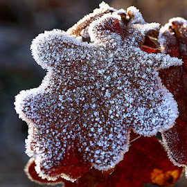 One Frosty Leaf by Chrissie Barrow - Nature Up Close Leaves & Grasses ( single, nature, oak, one, frost, brown, leaf, closeup, frosted )