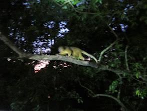 Photo: Olingo running on a branch