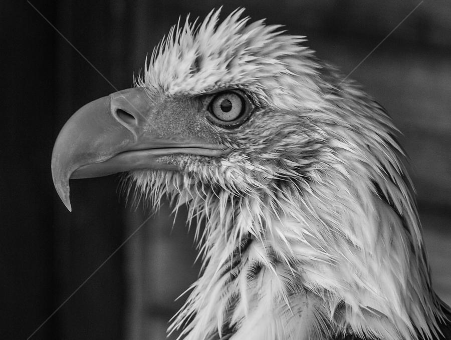Wet Sam by Garry Chisholm - Black & White Animals ( bird, garry chisholm, eagle, nature, black and white, wildlife, prey, raptor )