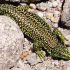 Carpetane Rock Lizard; Lagartija Carpetana