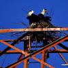woolly-necked stork, bishop stork or white-necked stork