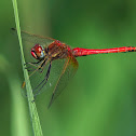 Libélula (Red-veined darter)
