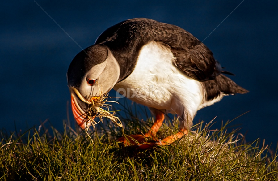 Arctic Puffin by Tim Vollmer - Animals Birds ( iceland sky, bird, gras, arctic puffin, puffin )