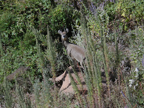 Photo: Klipspringer in Simien Mountains National Park