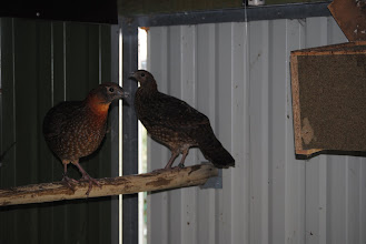 Photo: young pair Tragopan temmincki on the perch - sexual dimorphism is apparant in the breast and face