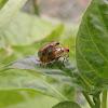 Couple Curcubit beetle