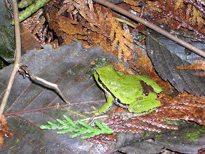 Photo: Pacific Tree Frog or Pacific Chorus Frog :  http://www.mister-toad.com/PacificTreeFrog.html